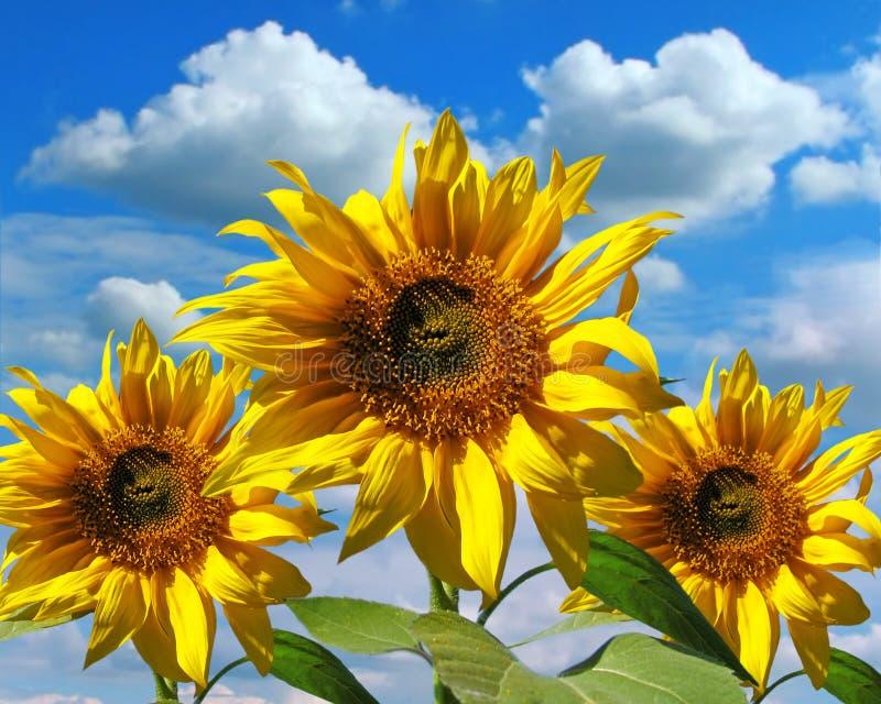 Three sunflowers stock photo