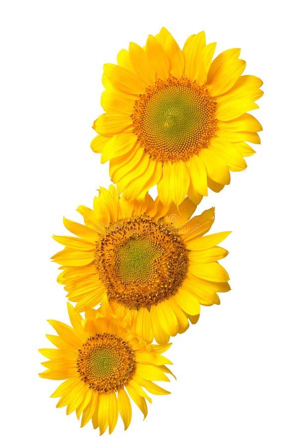 Three sunflowers isolated stock image. Image of love, life ...