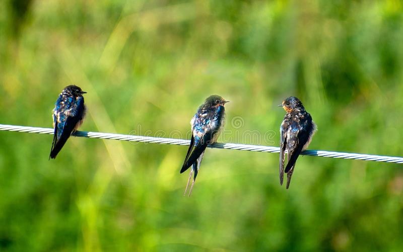 Three swallow birds stand wire green blur background stock images