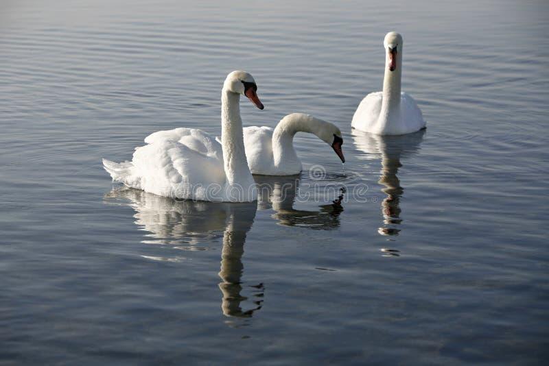 Three swans stock image