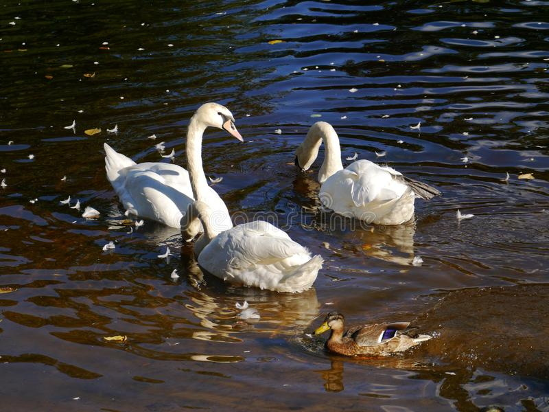 A three swans the the river stock images