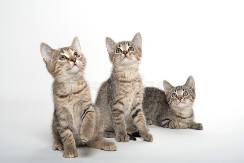 Three tabby kittens on white stock photos