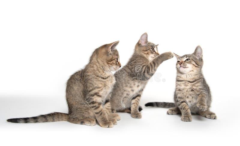 Three tabby kittens on white stock image