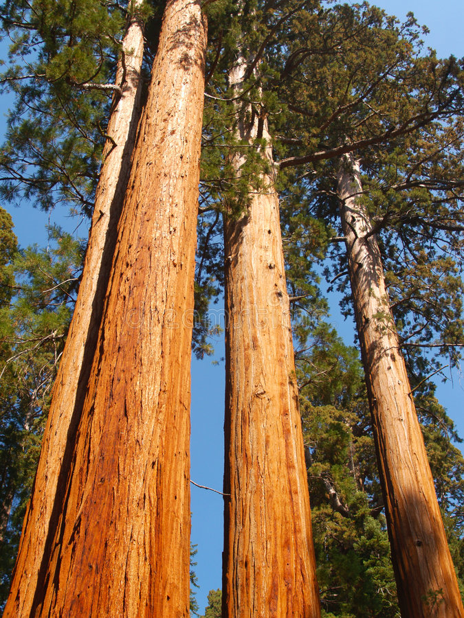 Download Three tall giants stock image. Image of pines, height - 3407985