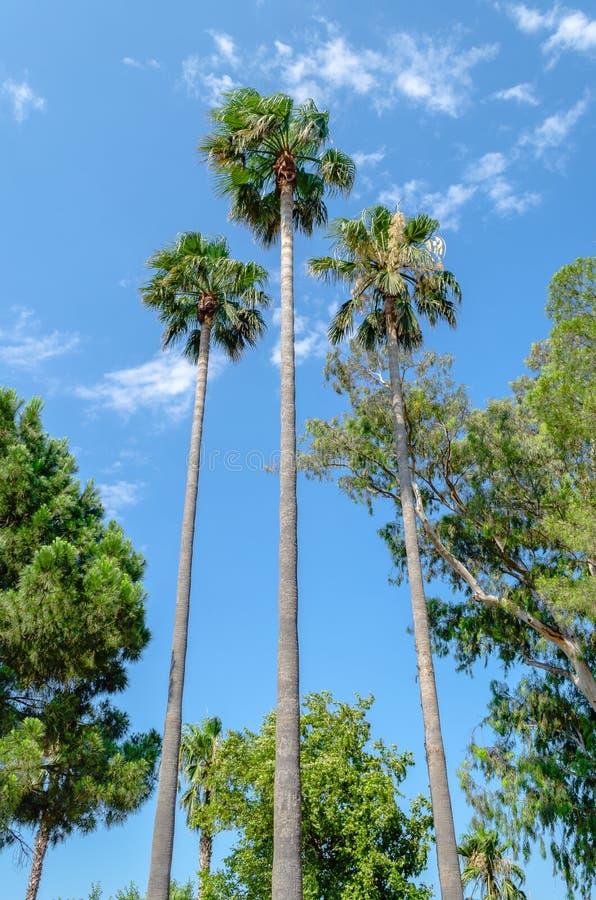 Three tall thin palm trees. Shot up into the blue sky stock image