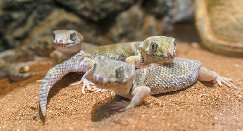 Three teratoscincus scincus lizards with big eyes that is warm royalty free stock images