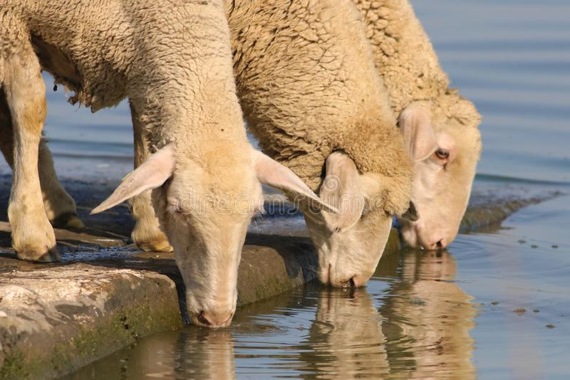 Three thirsty sheep on the watering place royalty free stock images