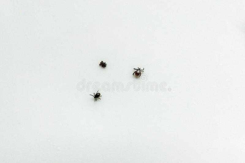 A three of the tick encephalitis on a white background. Three of the tick encephalitis on a white background a tecksture royalty free stock photo