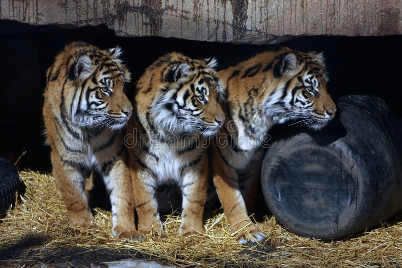 Download Three Tigers stock image. Image of wildcat, hunter, animal - 4833699