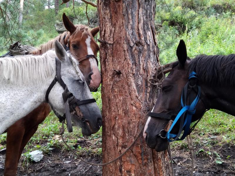 Three tired pack horses tied to a tree in the mountains on vacation for tourists horse riding in the Altai mountains. Three tired pack horses tied to a tree in stock image