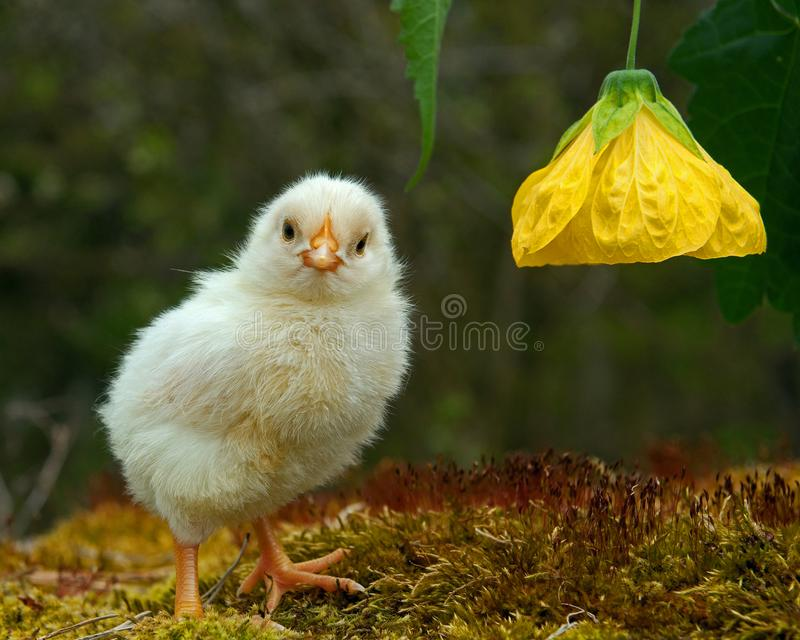 Three to four days old chicken male , from the Hedemora breed in Sweden. stock photos