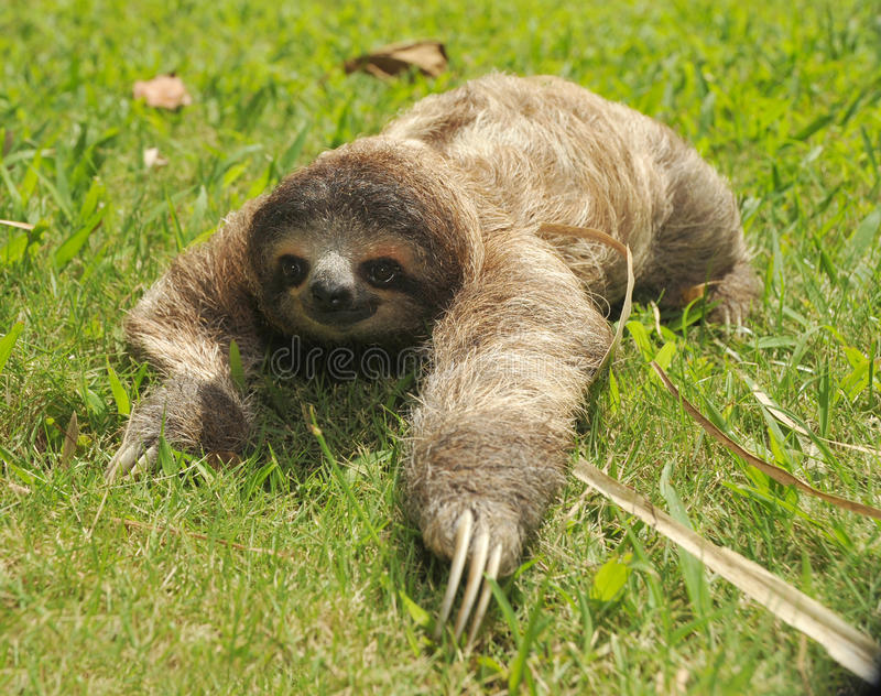 Three toe sloth crawling in grass, costa rica stock photography