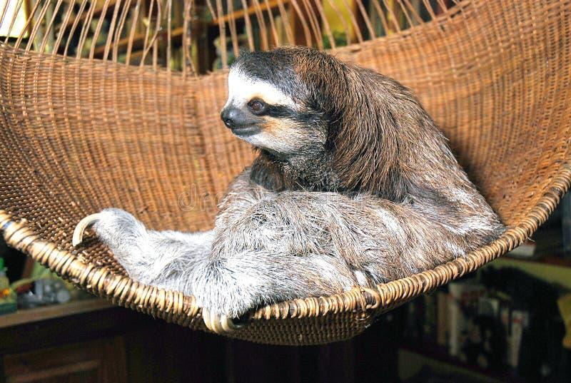 Three toed sloth. Costa Rica , The Sloth Sanctuary, Rescue Center royalty free stock photo