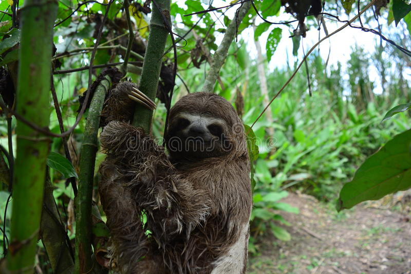 A Three-Toed Sloth in the Amazon Jungle, Peru. Picture of an wild three-toed sloth in the Amazon jungle of Peru. This picture was taken near to the city of royalty free stock photo