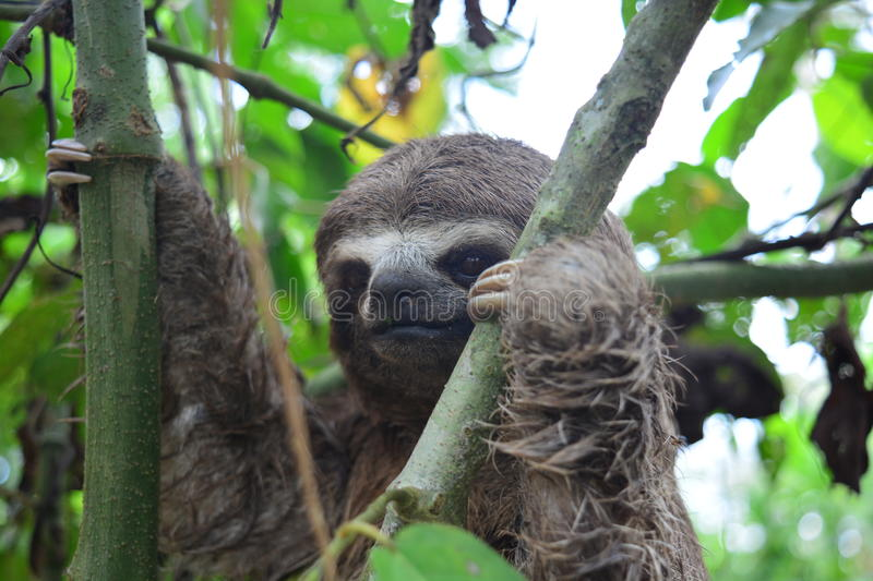 A Three-Toed Sloth in the Amazon Jungle, Peru. Picture of an wild three-toed sloth in the Amazon jungle of Peru. This picture was taken near to the city of royalty free stock images