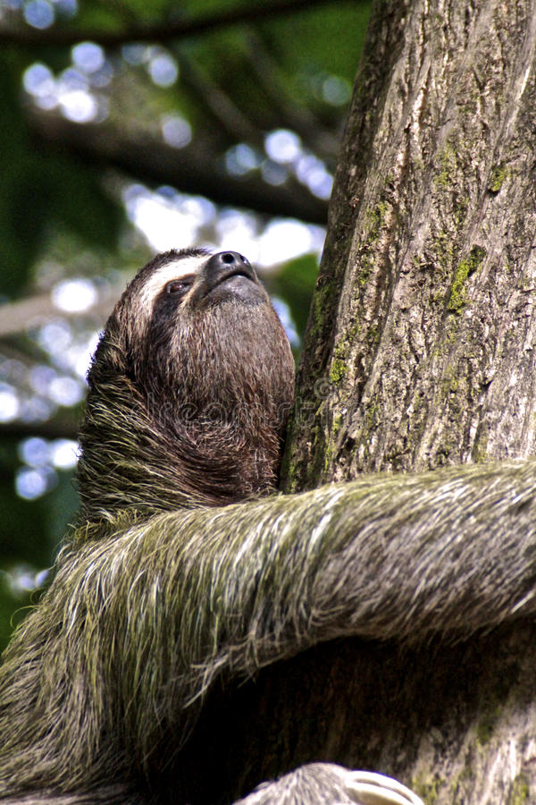 Three-toed sloth, Close-up stock images