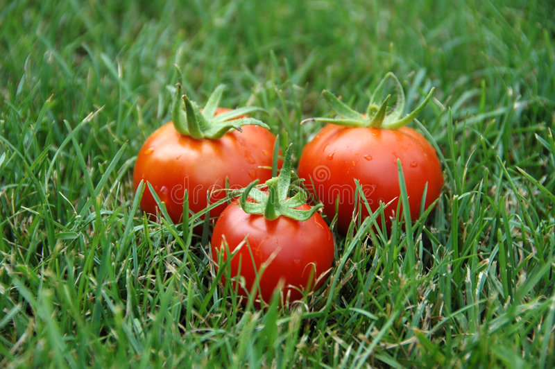 Download Three tomatoes in grass stock photo. Image of appetizing - 2896146