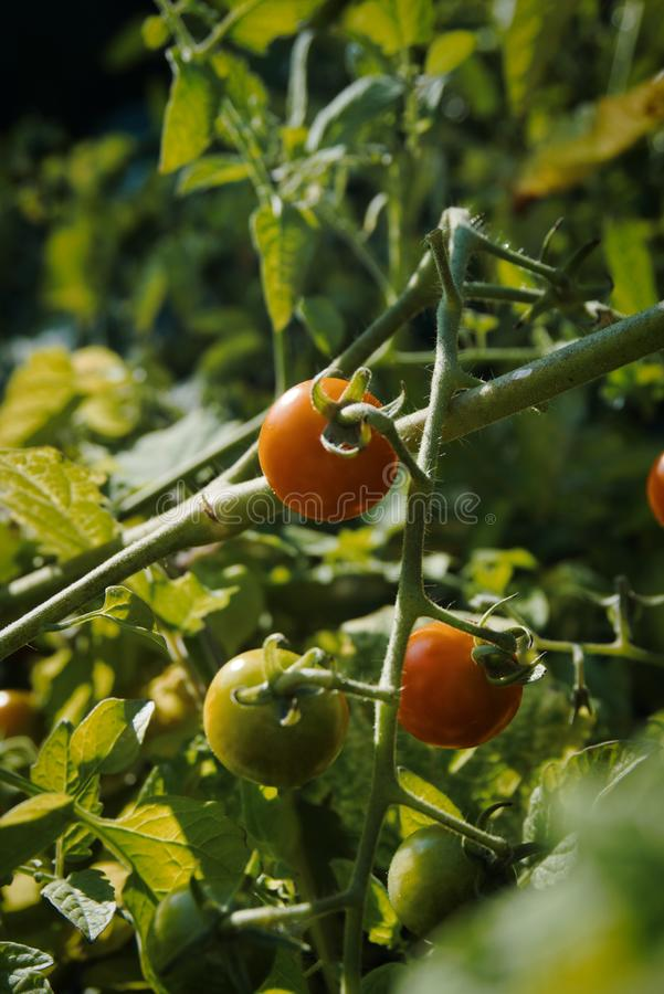 Three tomatoes on the vine two ripe one not royalty free stock photos