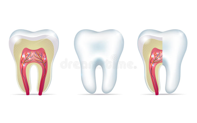 Three tooth anatomy illustrations. On a white background stock illustration