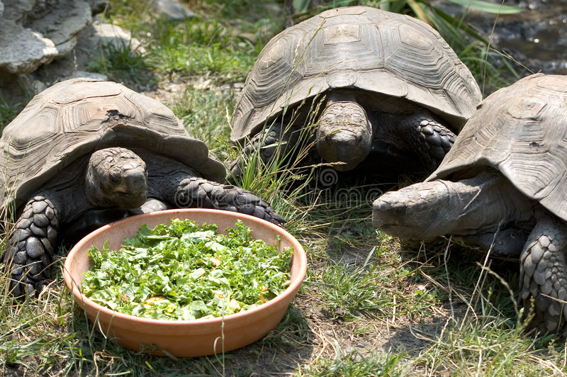 Three Tortoises. Large land tortoises sharing a meal. The tortise salad special is on the menu today and they dont like to share royalty free stock photos
