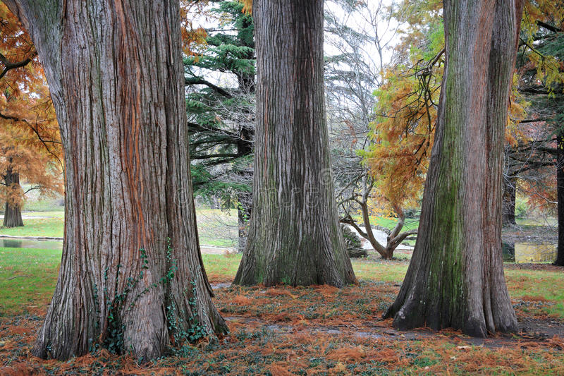 Download Three Tree Trunks stock photo. Image of calm, greenspace - 16071138