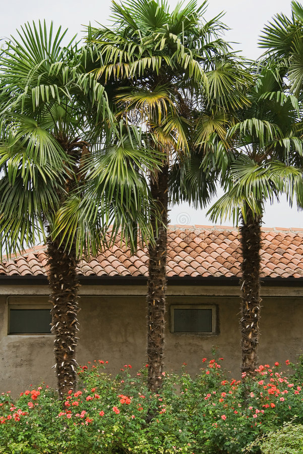 Three trees. Three palm trees in front of historical house stock image
