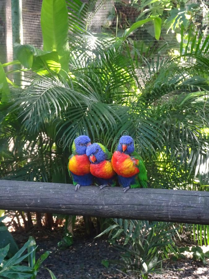 Three tropical blue-headed lorikeets on a branch. Jardin botanique de Deshaies in Guadeloupe island Three cute tropical birds standing on a tree branch royalty free stock image