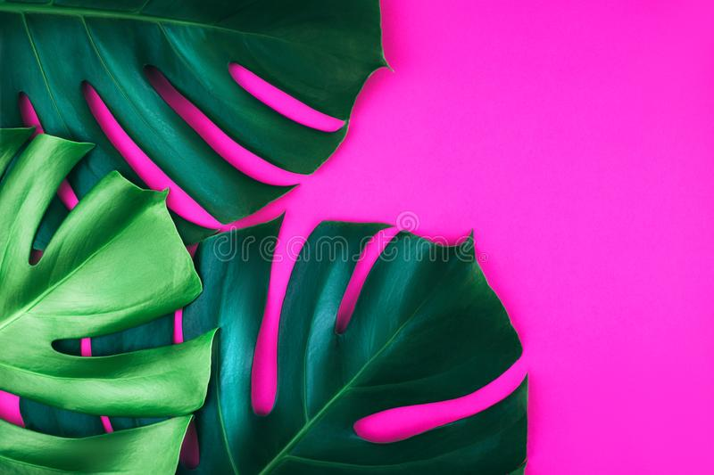 Three tropical jungle monstera leaves isolated on pink background. royalty free stock image