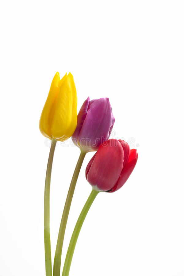 Download Three tulips stock image. Image of white, purple, beauty - 13501487
