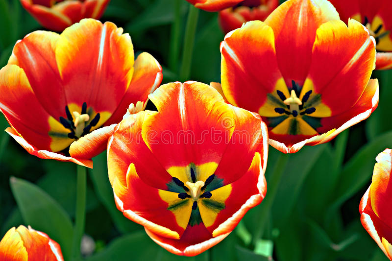 Download Three Tulips Royalty Free Stock Images - Image: 24064209