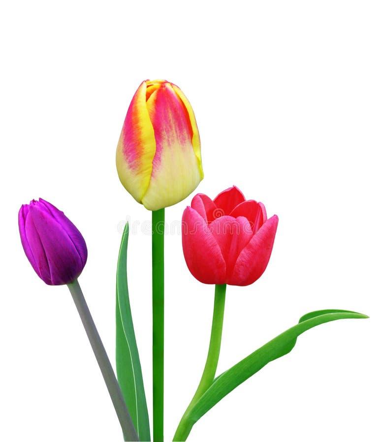 Three Tulips royalty free stock photography