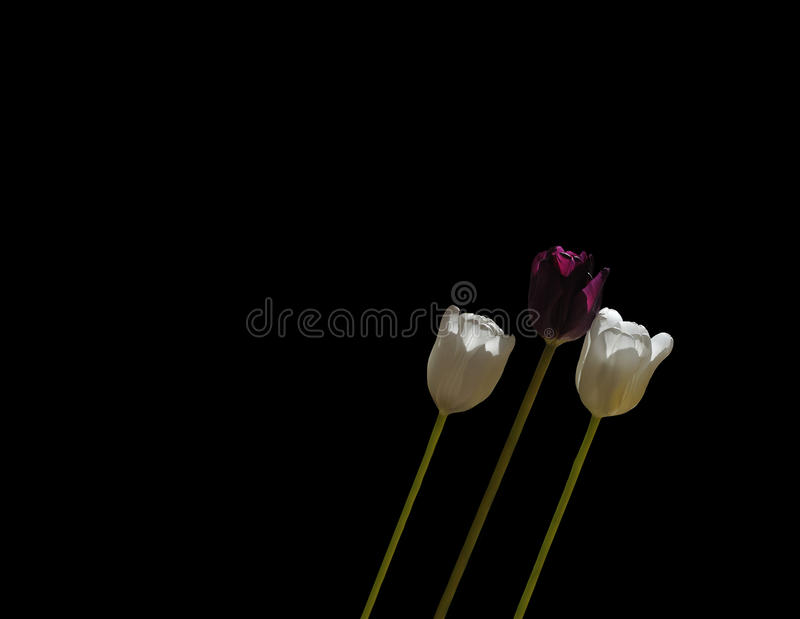 Three tulips leaning royalty free stock images