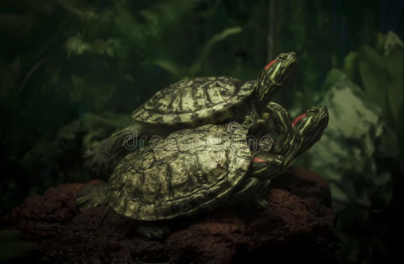 Three turtles on a green background, unrecognizable place stock photos