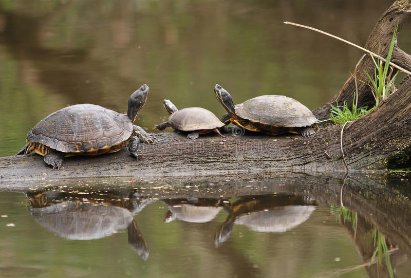 Three Turtles Reflected in Water. Three Turtles Sitting on Partially Submerged Log Reflected in Water stock photography