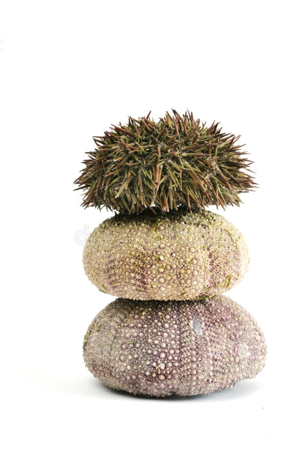 Three urchins. On a whits background. One with spines stock photos