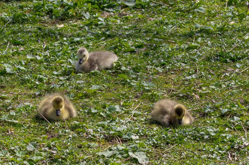 Three very young goslings sit quietly. Stanley Park, Vancouver stock photography
