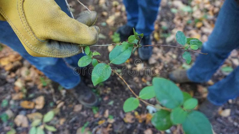 Gloved gardeners hand holds a cut honeysuckle vine. Three volunteers stand around the yellow gloved display of Lonicera flava vine or periclymenum as eradicating royalty free stock photography