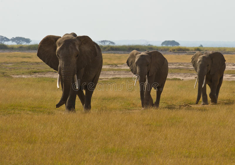 Three walking african Elephants. A small family group of African Elephants walks in a line led by the most experienced individual stock photos