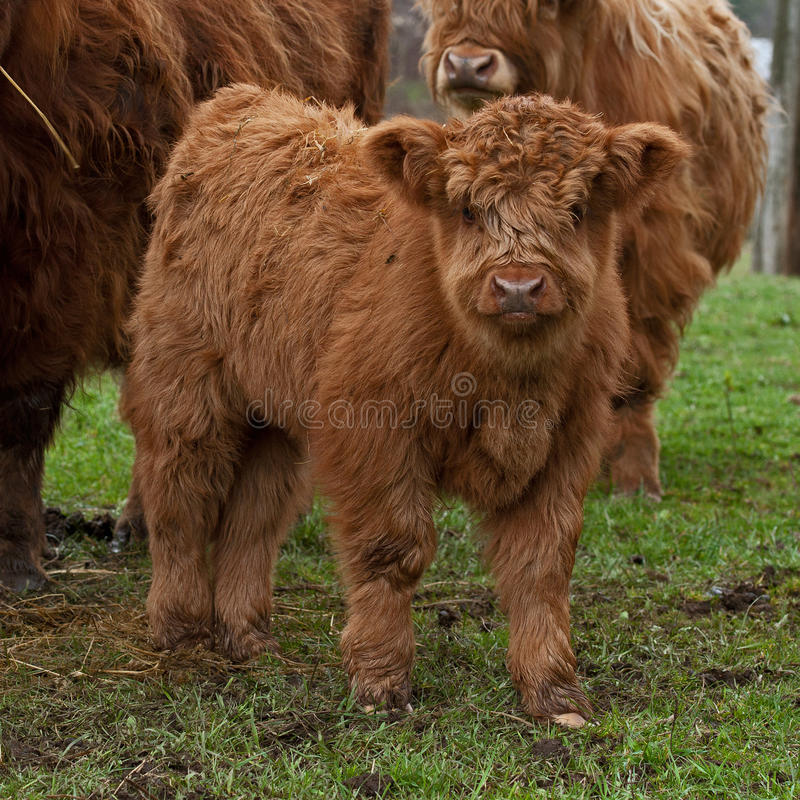 Three week calf of highland cattle. Three week old Highland cattle or kyloe in Sweden are an ancient Scottish breed of beef cattle with long horns and long wavy royalty free stock photography