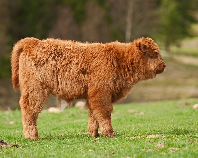 Four week calf of highland cattle. Three week old Highland cattle or kyloe in Sweden are an ancient Scottish breed of beef cattle with long horns and long wavy stock photo