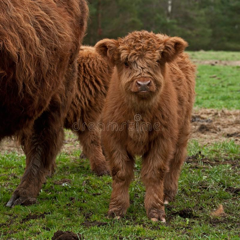 Four week calf of highland cattle. Three week old Highland cattle or kyloe in Sweden are an ancient Scottish breed of beef cattle with long horns and long wavy royalty free stock image