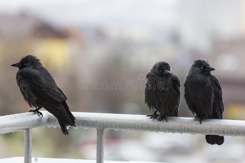 Three wet crows sitting on balcony rail stock image