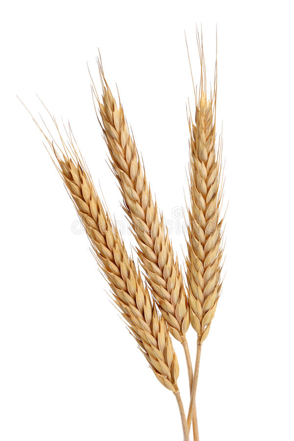 Download Three Wheat stock image. Image of grow, stalks, fall - 26571771