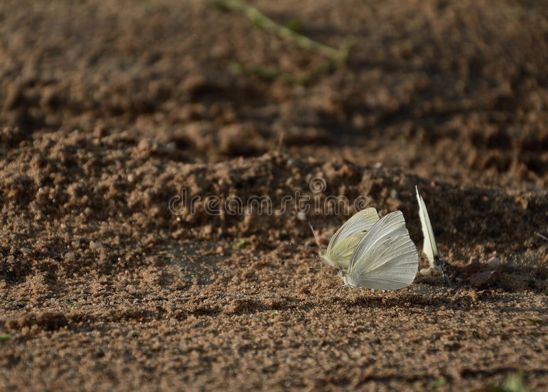 Three white butterfly royalty free stock photos
