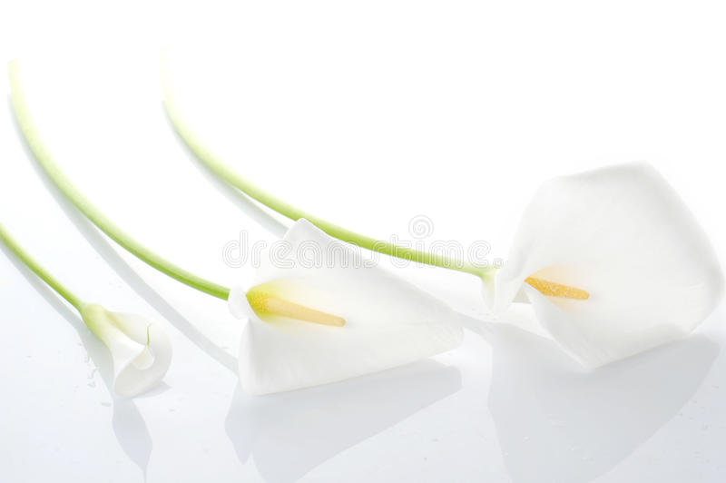 Three white calla lilies stock images