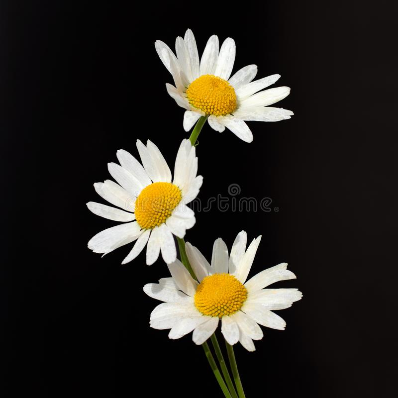 Three white chamomile flowers in line on a black background closeup isolated in square royalty free stock photography