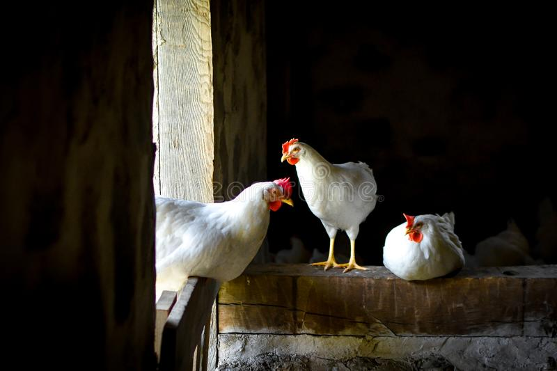 Three White Chickens Standing in Barn royalty free stock image