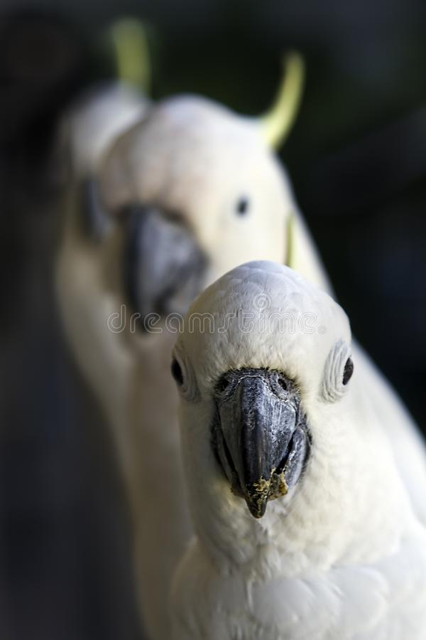 Three White Cockatoos In A Row royalty free stock photography