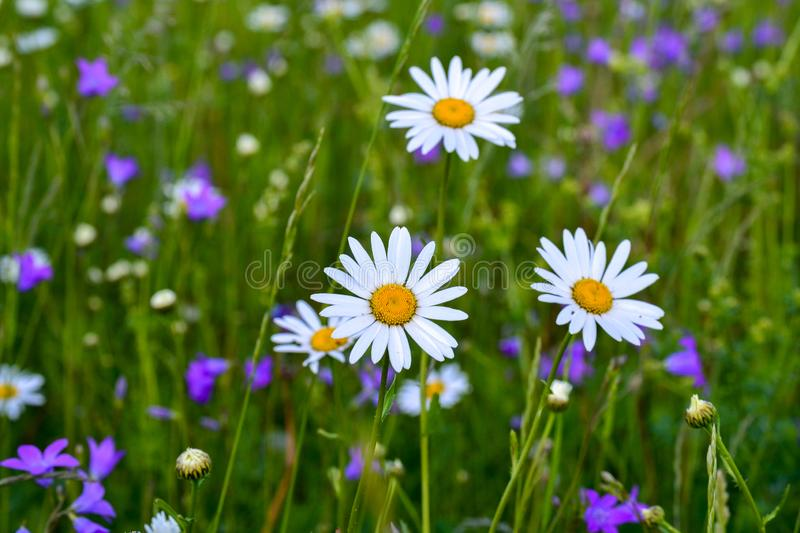 Three white daisies in a field among other wild flowers.  royalty free stock photos
