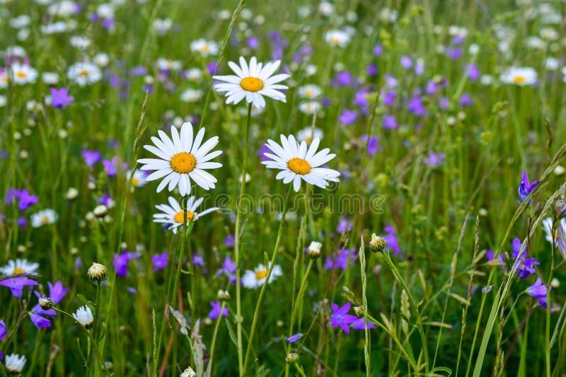 Three white daisies in a field among other wild flowers.  stock photos